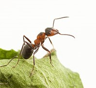 Ant_small