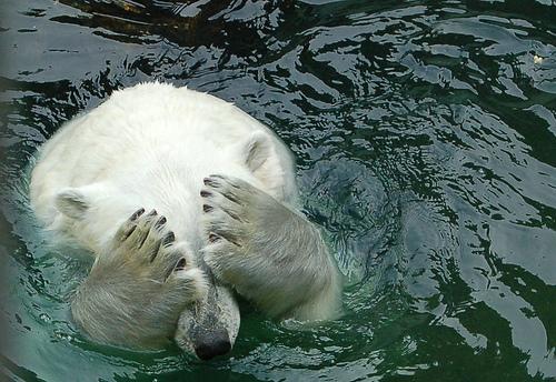 Ashamed Polar Bear