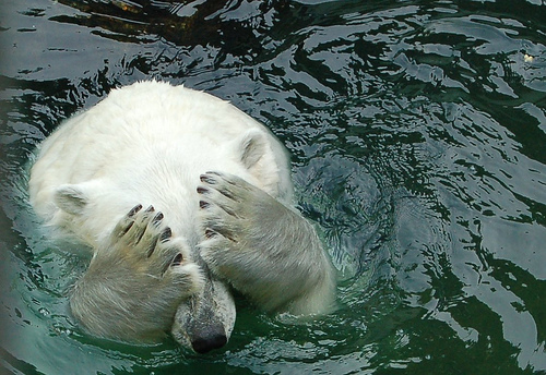Ashamed Polar Bear