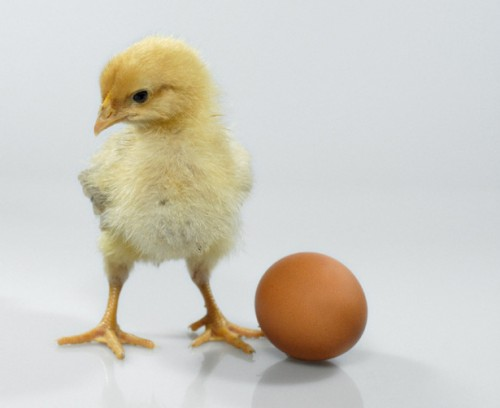 Shuterstock image. Chicken and egg. Which came first? The chicken or the egg?